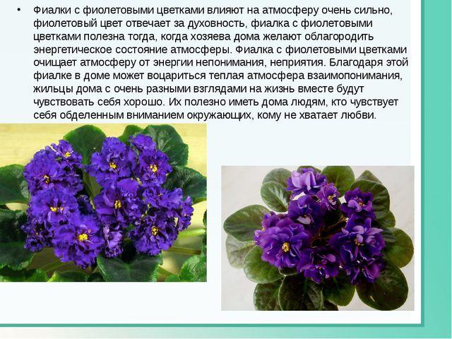 Фиалки с фиолетовыми цветками влияют на атмосферу очень сильно, фиолетовый цв...