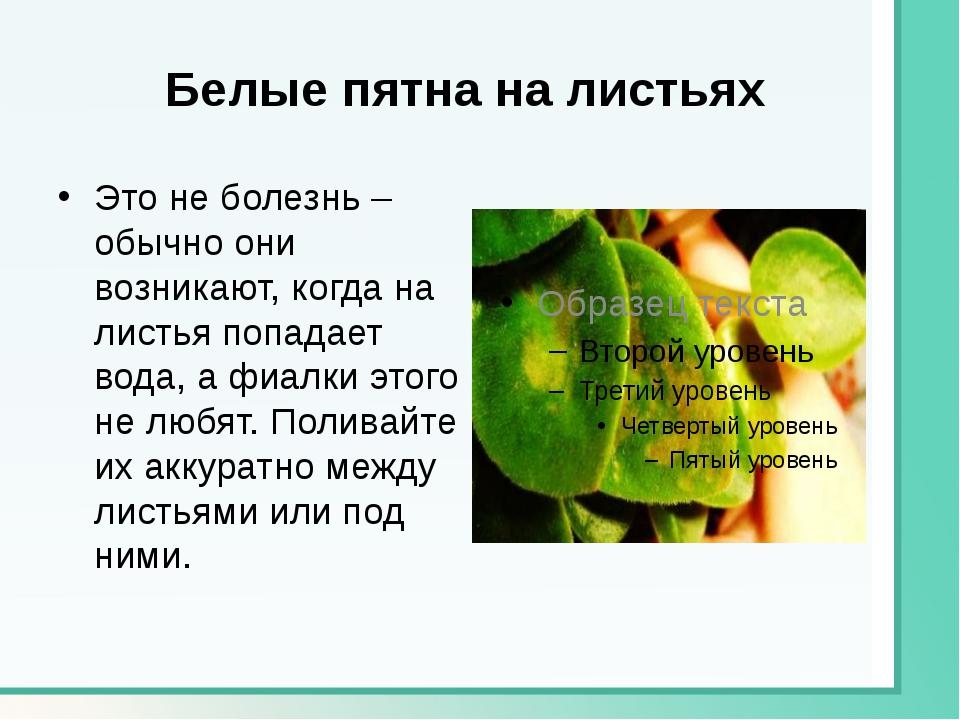 Белые пятна на листьях Это не болезнь – обычно они возникают, когда на листья...