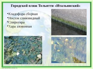 Городской пляж Тольятти «Итальянский» Кладофора сборная Носток сливовидный Сп