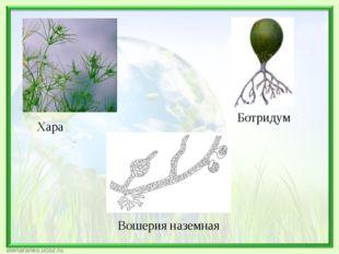 Хара Ботридум Вошерия наземная