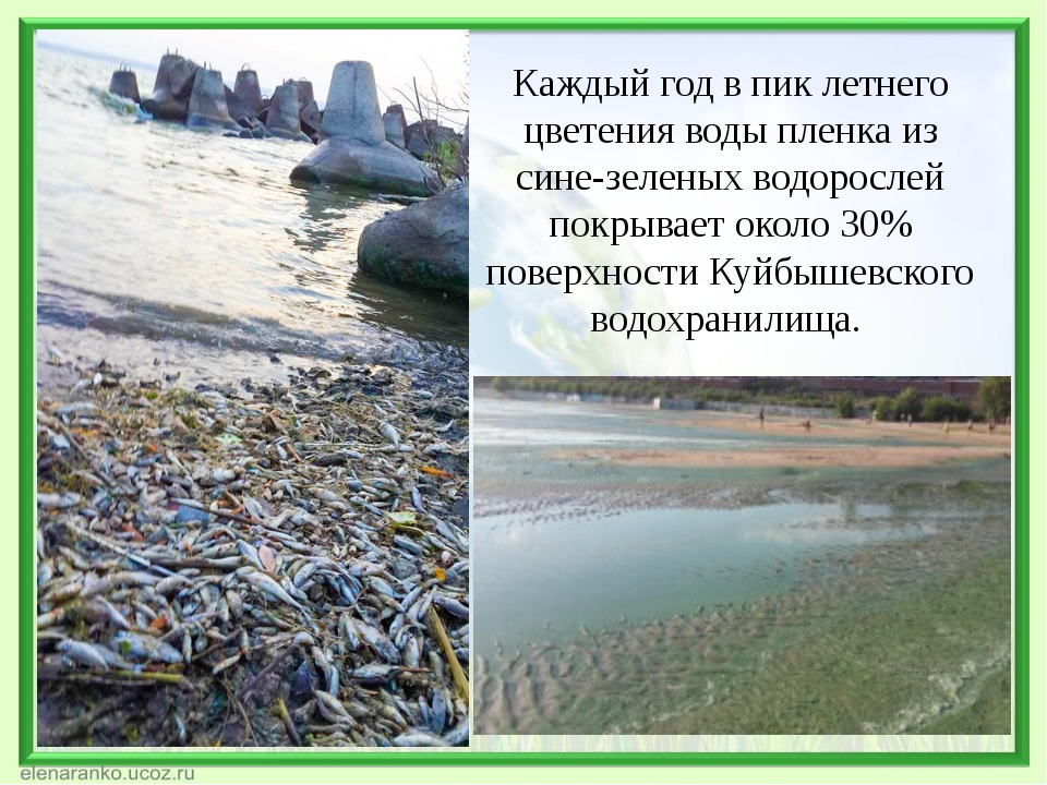 Каждый год в пик летнего цветения воды пленка из сине-зеленых водорослей покр...