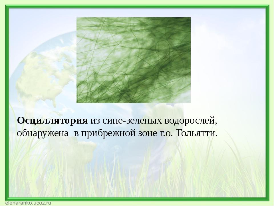 Осциллятория из сине-зеленых водорослей, обнаружена в прибрежной зоне г.о. То...