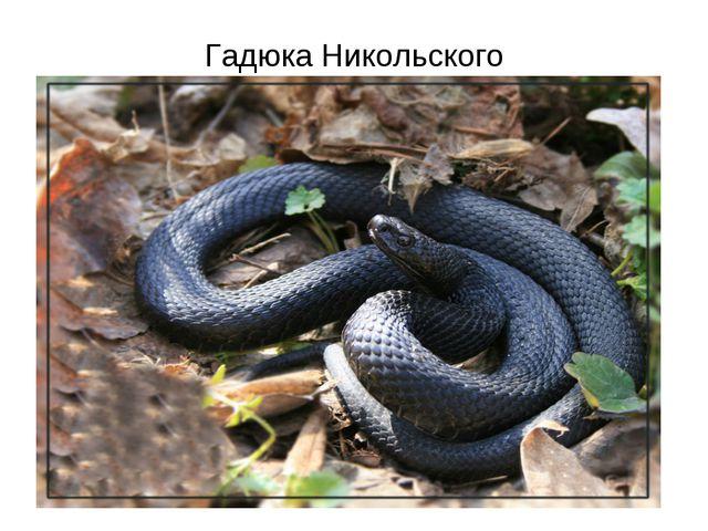 Гадюка Никольского