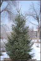 Ель обыкновенная (европейская) - Picea abies