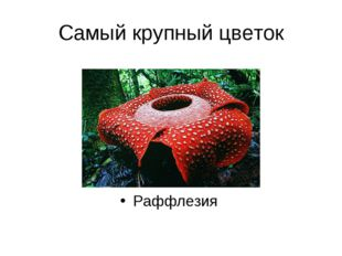 Самый крупный цветок Раффлезия