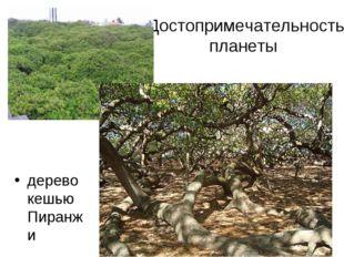Достопримечательность планеты дерево кешью Пиранжи