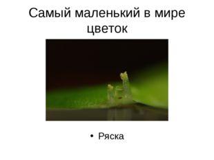Самый маленький в мире цветок Ряска