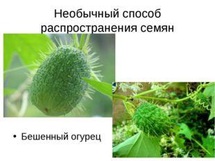 Необычный способ распространения семян Бешенный огурец