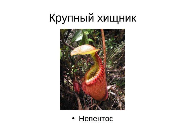 Крупный хищник Непентос