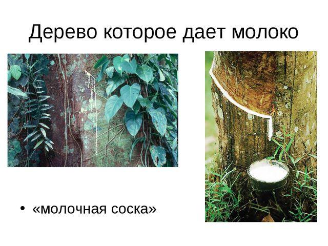 Дерево которое дает молоко «молочная соска»