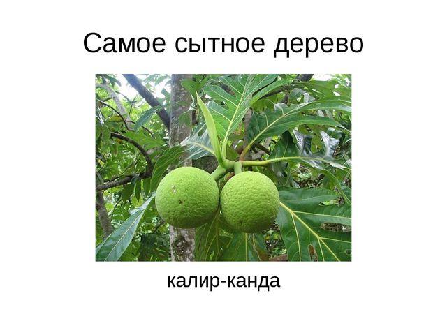 Самое сытное дерево калир-канда