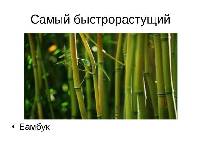 Самый быстрорастущий Бамбук