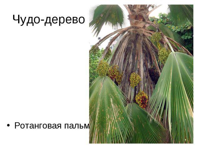 Чудо-дерево Ротанговая пальма