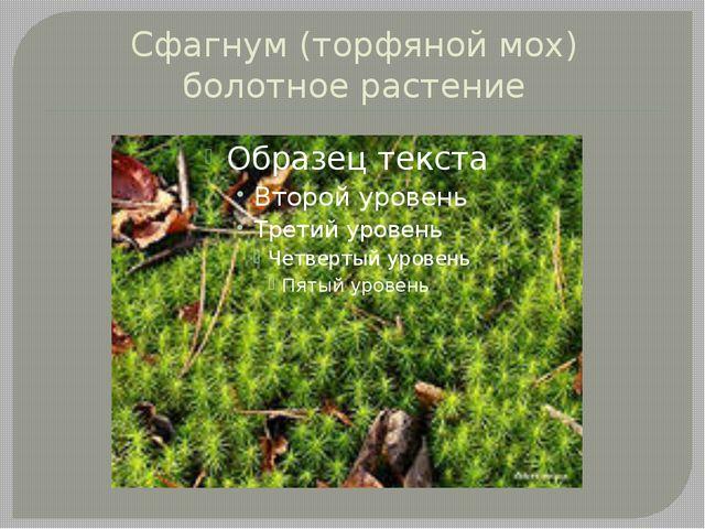 Сфагнум (торфяной мох) болотное растение