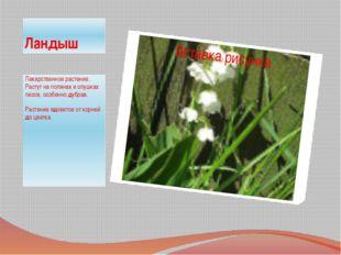 Ландыш Лекарственное растение. Растут на полянах и опушках лесов, особенно ду