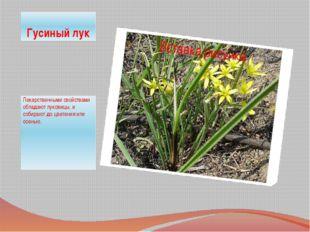Гусиный лук Лекарственными свойствами обладают луковицы, и собирают до цветен