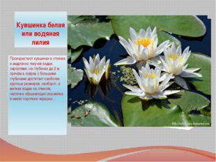 Кувшинка белая или водяная лилия Произрастают кувшинки в стоячих и медленно т