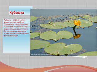 Кубышка Кубышка — род многолетних водных растений семейства Кувшинковые , ра