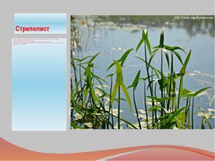 Стрелолист Трава с трёхлучевыми листьями. род водных многолетних растений сем
