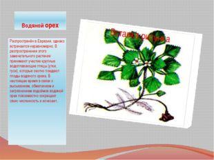 Водяной орех Распространён в Евразии, однако встречается неравномерно. В расп