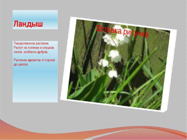 Ландыш Лекарственное растение. Растут на полянах и опушках лесов, особенно ду...