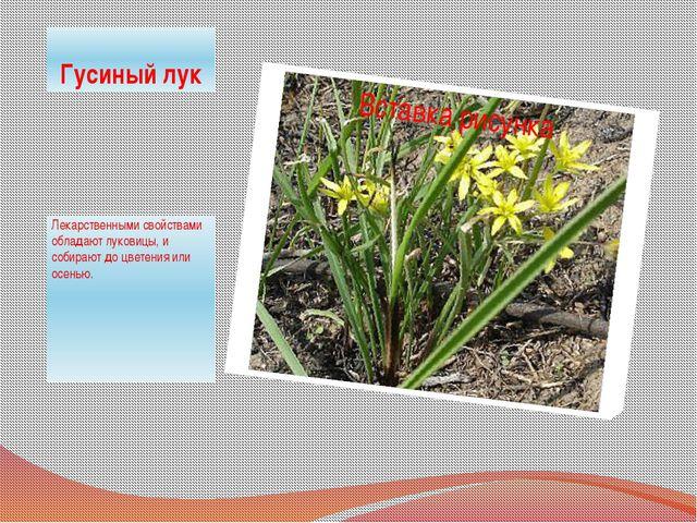 Гусиный лук Лекарственными свойствами обладают луковицы, и собирают до цветен...