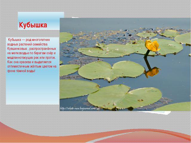 Кубышка Кубышка — род многолетних водных растений семейства Кувшинковые , ра...