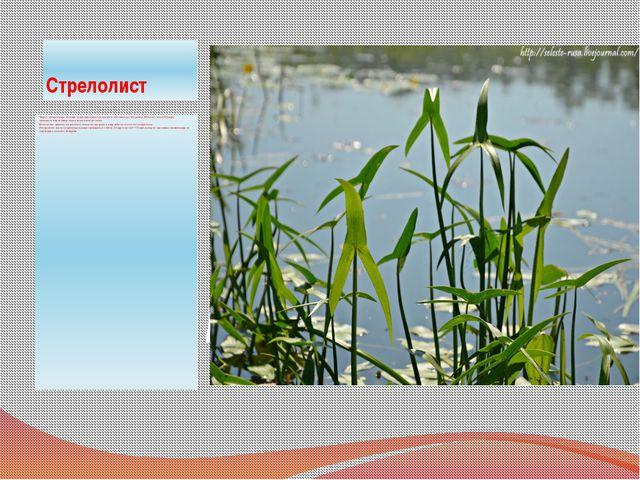 Стрелолист Трава с трёхлучевыми листьями. род водных многолетних растений сем...