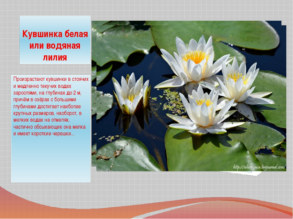 Кувшинка белая или водяная лилия Произрастают кувшинки в стоячих и медленно т...