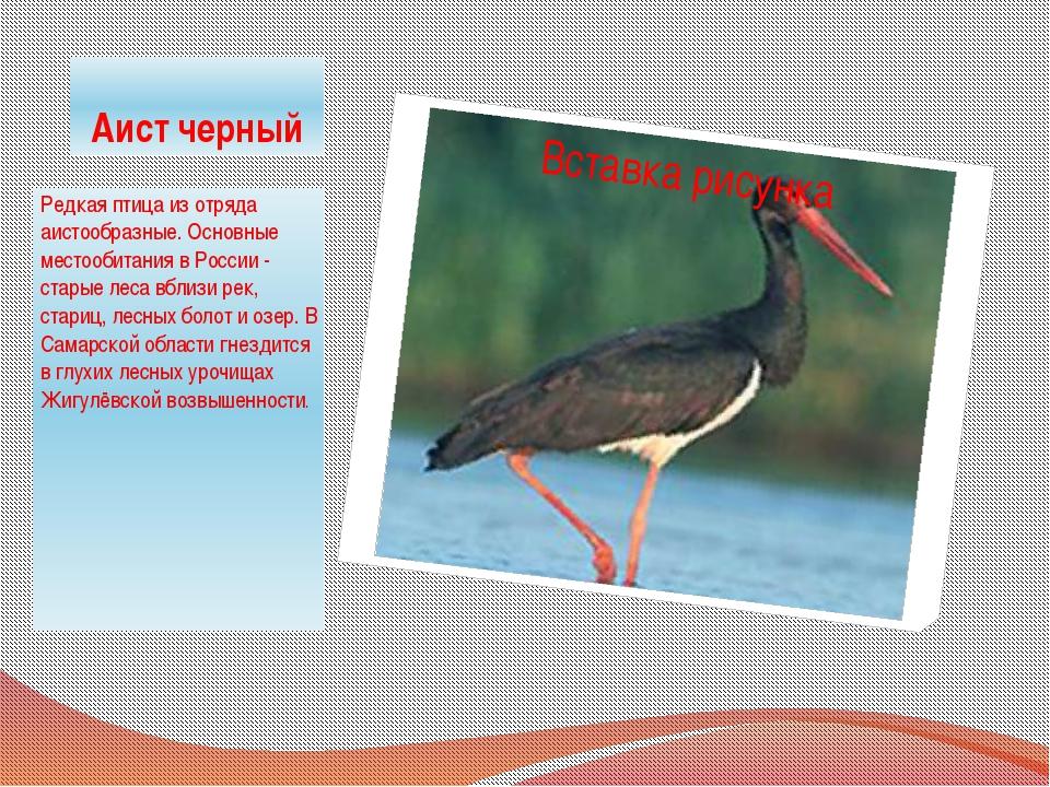 Аист черный Редкая птица из отряда аистообразные. Основные местообитания в Ро...