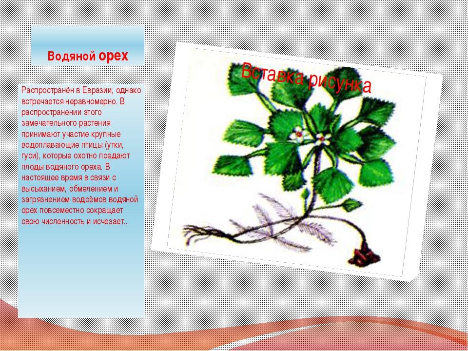 Водяной орех Распространён в Евразии, однако встречается неравномерно. В расп...