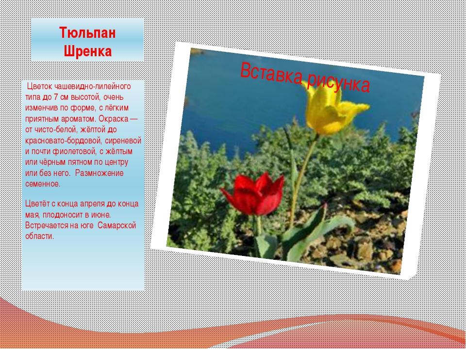 Тюльпан Шренка Цветок чашевидно-лилейного типа до 7 см высотой, очень изменчи...