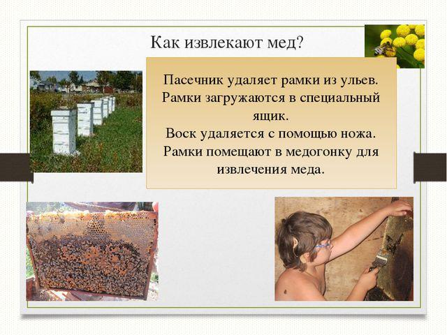 Как извлекают мед? Пасечник удаляет рамки из ульев. Рамки загружаются в специ...