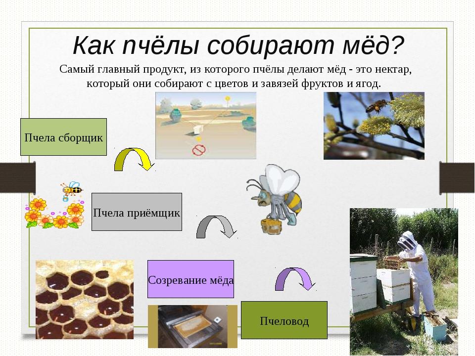 Как пчёлы собирают мёд? Пчела сборщик Пчела приёмщик Созревание мёда Пчеловод...
