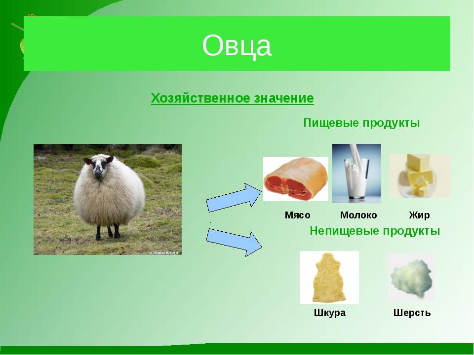 Овца Хозяйственное значение Пищевые продукты Мясо Непищевые продукты Шкура Ше...