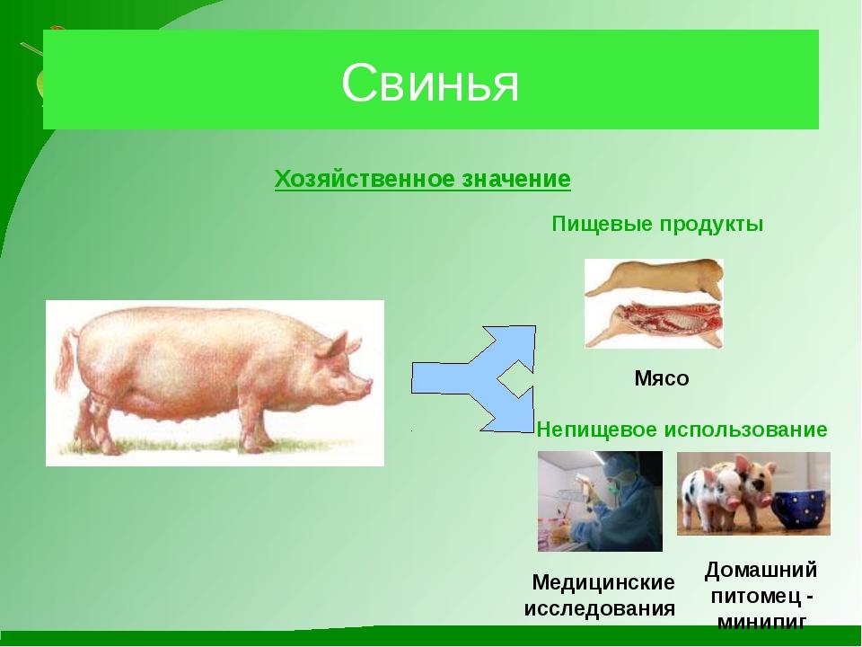 Свинья Хозяйственное значение Пищевые продукты Мясо Непищевое использование М...