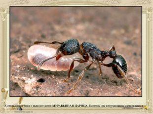 А откладывает яйца и выводит деток МУРАВЬИНАЯ ЦАРИЦА. Поэтому она в муравейни
