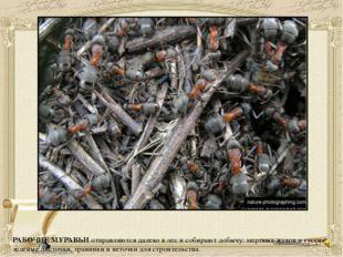 РАБОЧИЕ МУРАВЬИ отправляются далеко в лес и собирают добычу: мертвых жуков и
