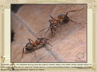 А знаешь ли ты, что муравьи всегда находят дорогу домой, даже если очень-очен