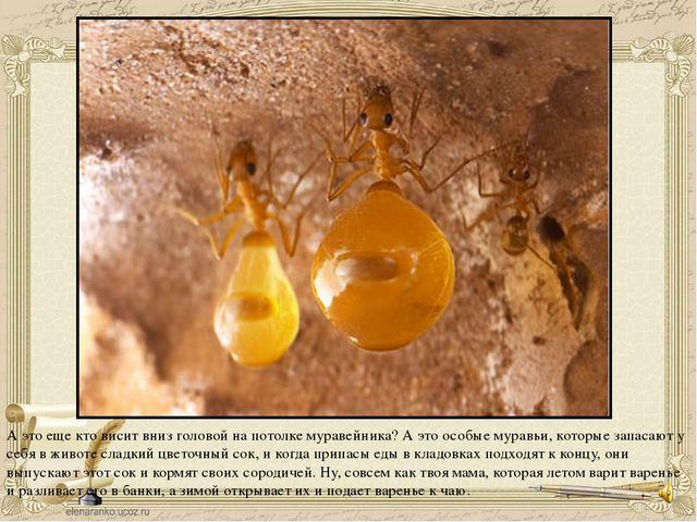 А это еще кто висит вниз головой на потолке муравейника? А это особые муравьи...