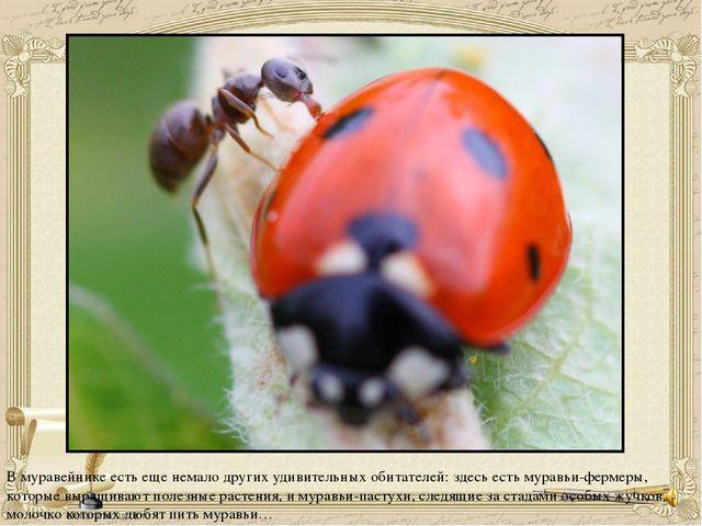 В муравейнике есть еще немало других удивительных обитателей: здесь есть мура...