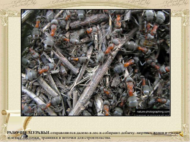 РАБОЧИЕ МУРАВЬИ отправляются далеко в лес и собирают добычу: мертвых жуков и...