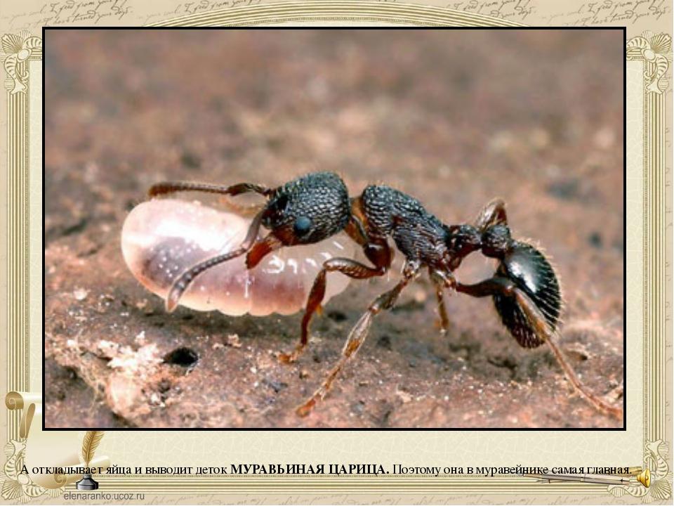 А откладывает яйца и выводит деток МУРАВЬИНАЯ ЦАРИЦА. Поэтому она в муравейни...