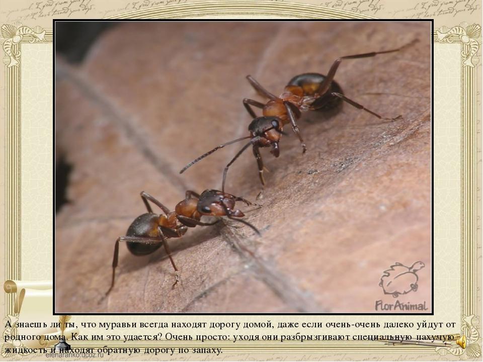 А знаешь ли ты, что муравьи всегда находят дорогу домой, даже если очень-очен...