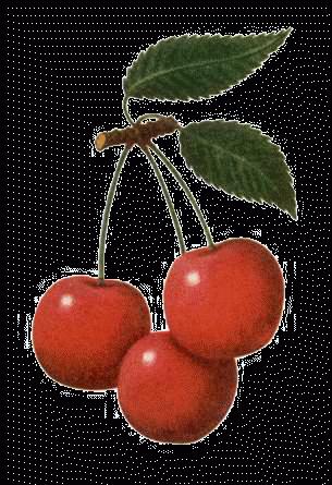 Вишня, сорта вишни, дерево, растение