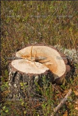 Пень от срубленного дерева