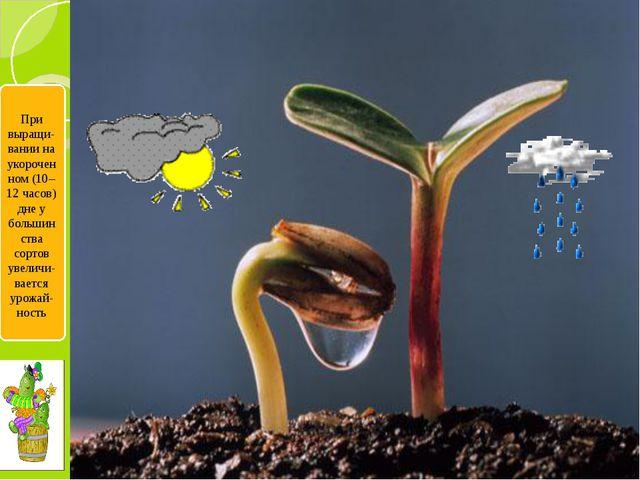 При выращи-вании на укороченном (10–12 часов) дне у большинства сортов увели...