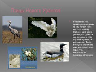 Птицы Нового Уренгоя Большинство птиц являются околоводными, то есть обитают