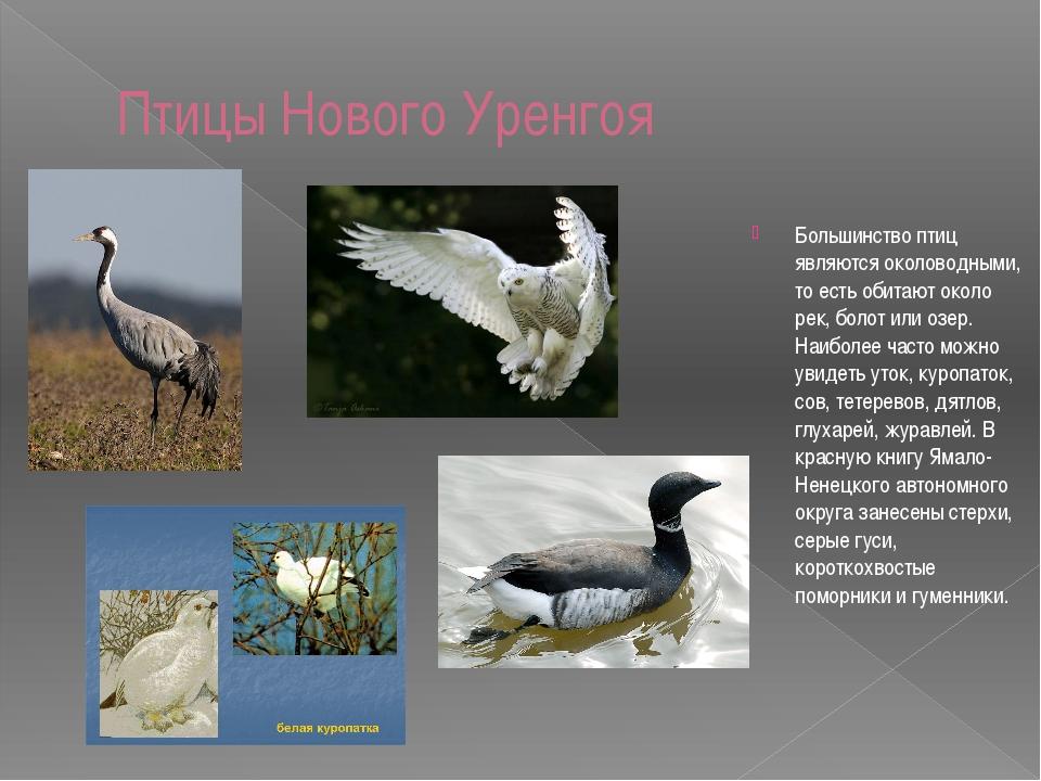 Птицы Нового Уренгоя Большинство птиц являются околоводными, то есть обитают...