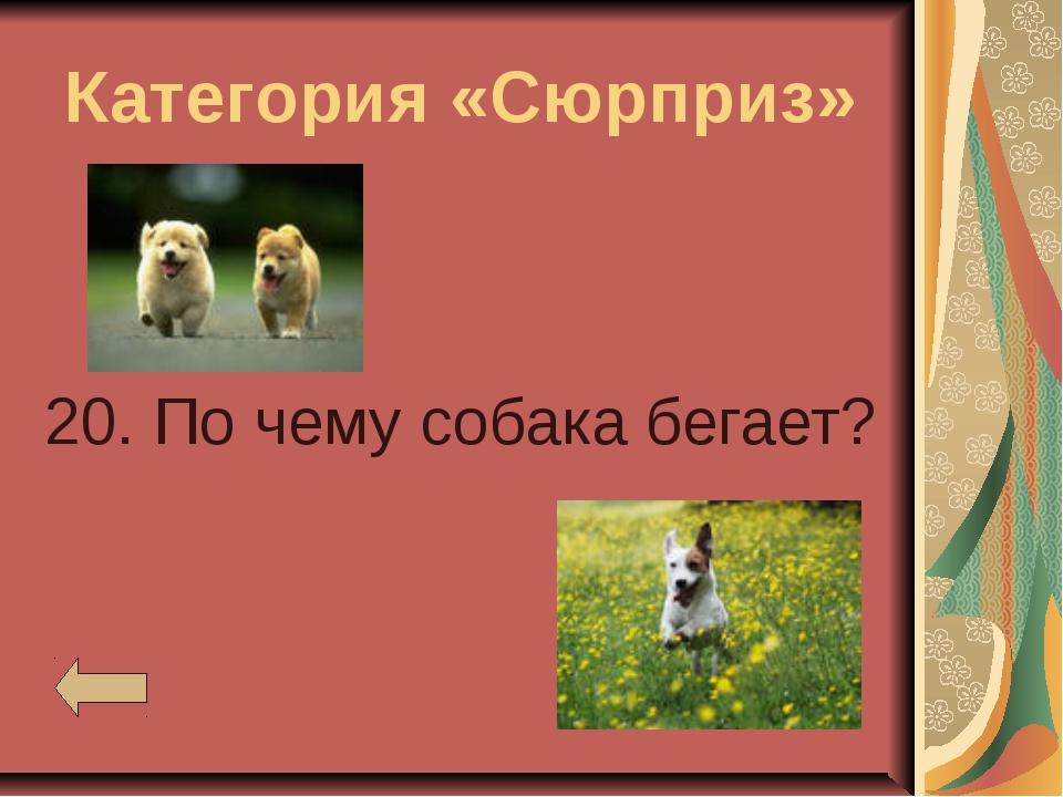 Категория «Сюрприз» 20. По чему собака бегает?